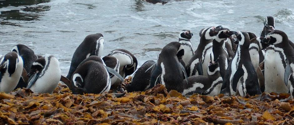 pinguineras-punta-arenas