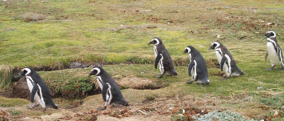 seno-otway-pinguinos