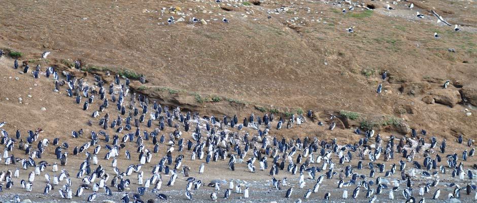 isla-magdalena-patagonia