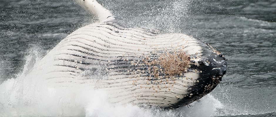 ballenas1